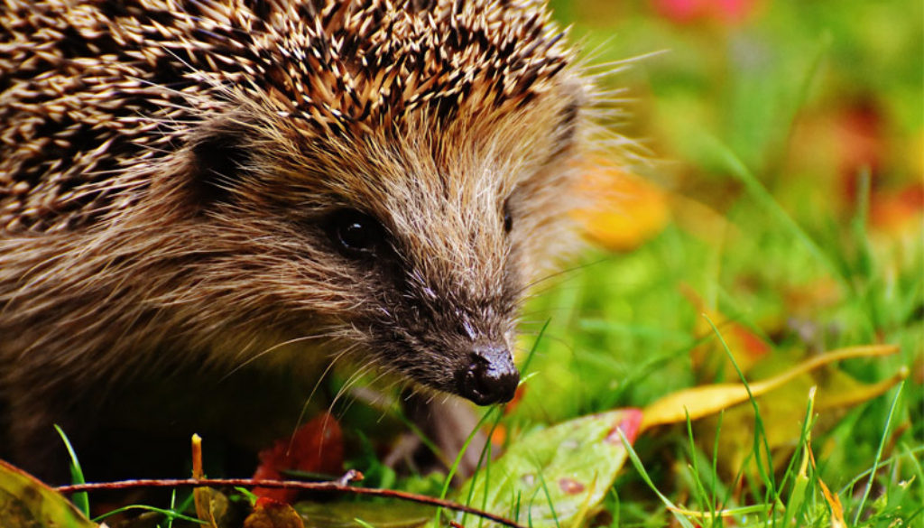 Spring-Hedgehog