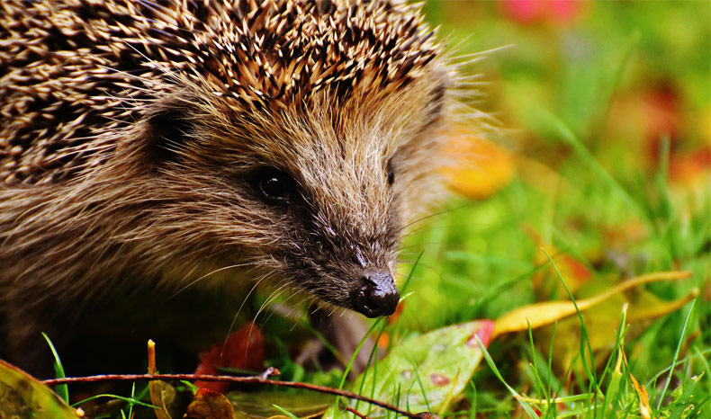 Spring-Hedgehog